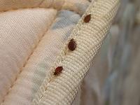 bedbugs-1.jpg