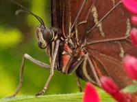 papillon-07