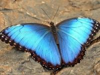 papillon-04