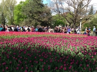 tulip15.JPG