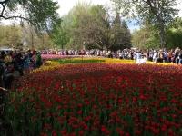 tulip9.JPG