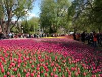 tulip14.JPG
