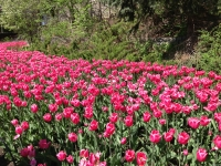 tulip16.JPG